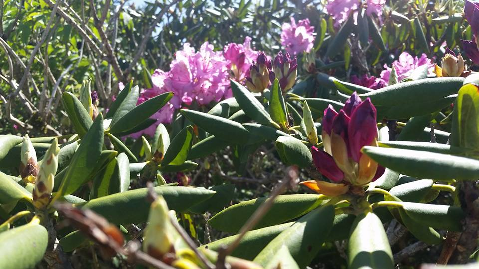 rhododendron 2 6-13-16
