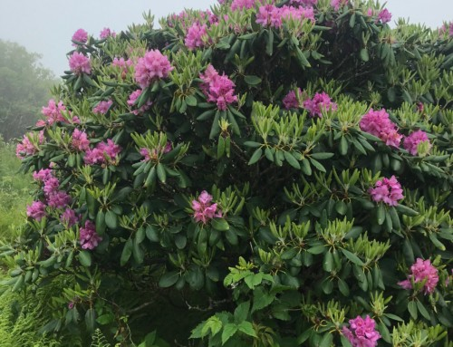 Rhododendron Bloom June 12, 2018